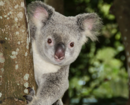 Free photo Australia, Zoo, Koala Bear – Free Image on Pixabay – 1068578 – Mozil_2018-01-30_20-23-10