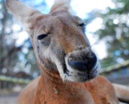 Free photo Kangaroo, Marsupial, Close Up – Free Image on Pixabay – 1209951 – Mo_2018-01-30_20-21-48